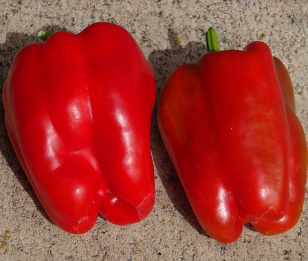 Here is the Golbasi Pepper, Capsicum annuum. Scoville units: 000 SHU. This pepper originates from the city of Gölbaşı in Turkey. These peppers are a medium sized bell shape and are SWEET! Plants are very productive in full sun and put out a dozen or more fruits. Peppers get to around 4 inches but can get a little bigger and turn from green to red when ripe. Plants get to around 3 feet tall with very thick foliage and compact. We found them especially good for eating fresh in salads but also good in fried dishes! Open Pollinated, 75 days from transplanting.