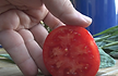 """Here is the Santa Maria Tomato, Solanum lycopersicum, This heirloom tomato originally came from Italy. Here is the story behind the tomato written by Karen Golden SS; """"A tomato growing friend of mine from Niagara county has been bragging about these huge red pastes from an old Italian immigrant friend of his father in law's for a few years now. Well he finally showed up with them, and they are big! I grew them this year (2013) and though not as large as my friend's, they were big and tasty."""" Indeterminate. Open pollinated. 80 days. There is no other info on this tomato."""