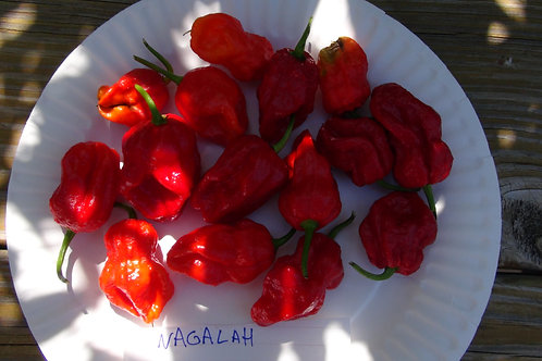 Nagalah Pepper, Capsicum chinense, Scoville units: 1,000,000+ SHU. This is a cross strain of the Trinidad 7 Pot Douglah and t
