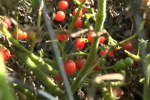 Here is the Wild Florida Everglades Tomato (WFET), Solanum pimpinellifolium originates from Florida USA. It does exceptional