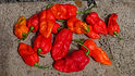 "Here is the HellFire Chili Pepper, Capsicum chinense, Scoville units: 2,000,000+ SHU. This pepper is a F-3 cross 2019 created by Heirloom Reviews using 2 species and 3 cultivars to create it and is deadly HOT! Plants are really good producers with pods about 2.5 to 3 inches long with some having dark red blood streaks on it. The thing about this pepper is it gets hotter every year its wintered over! The pepper in the video is from a 2 yr old plant and twice as hot as the year before!!! ""This is by far the hottest pepper i ever tried to eat!"" Plants get to 30 inches but can reach 3 feet in full sun light. We may offer seeds in the near future after some testing is finished. Open pollinated, 90+ days."