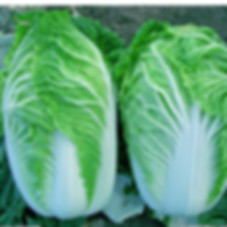 Michihili cabbage