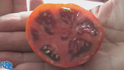 The African brown tomato, Solanum lycopersicum. It is originally from west Africa. This is a Indeterminate, regular leaf tomato plant with Big, thick juicy copper toned slicer tomatoes. can produce more then 12 fruits per plant! They make a great sauce and can easily get to 1 Lb! Watch the video and see how we rate this tomato. Open pollinated. Indeterminate. 50-70 days.