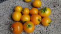 """Here is the Floragold Basket (Micro Dwarf) Tomato, Solanum lycopersicum. This tomato was Bred and created by the University of Florida, USA. The tomato is known as a Micro Dwarf variety. The plants don't get much bigger then 6 inches tall and produces these 3/4 inch dark yellow or orange tomatoes. This variety is classified as a """"determinate"""" type but we found that with regular pruning and good maintenance, the plants can live for years in small pots! The fruits are very tasty and sweet! Open pollinated. determinate regular leaf early season 45 to forever days."""