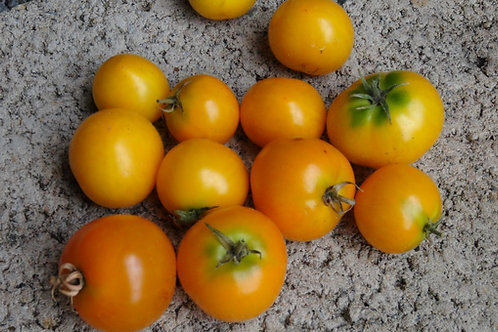 Here is the Floragold Basket Tomato, Solanum lycopersicum. This tomato was Bred and created by the University of Florida, USA