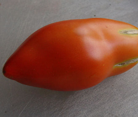 """Here is the Jersey Devil Tomato Solanum lycopersicum, A Pendulant, pointed, elongated like fruits are slow to set but yield very heavily. Tomatoes are 5 to 6 inch's long withruby red, paste type fruits are very meaty and have few seeds. Most Incredible flavor!This variety was another pillar of the New Jersey tomato industry, and is an ancestor to """"Jersey Giant."""" Jere Has been growing these for 20 years and they are a favorite! Indeterminate, regular leaf. Open pollinated 85 days from transplant."""