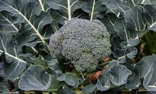 Early Green Broccoli