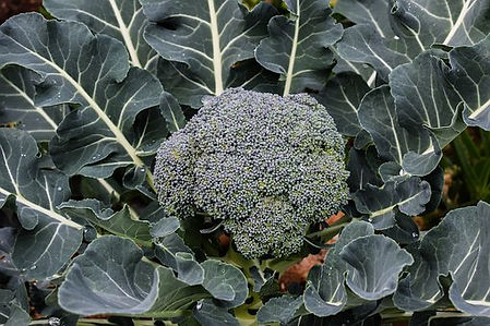 Early Green Broccoli