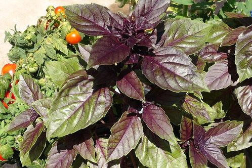Here is the Red Rubin Basil,Ocimum basilicum 'Purpurascens'. It is an improved variety of Dark opal basil. Like many culinar