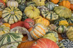 Here is the Ornamental Gourd Mixed seeds,Cucurbita pepo. Theyare sometimes referred to as Flower Hybrid gourds! They come in many shapes an sizes with a very unique color pattern. They are edible and can rage from 3 inches to 6 inches in size. These gourds are often seen in grocery stores around Halloween as a decorate item more then an edible vegetable. We will provide more information on our next harvest! Open pollinated 90 to 100 days.