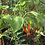 Here is the Goat Horn Pepper, Capsicum annuum (PI 321003), Scoville units: 20,000 ~ 50,000 SHU. This pepper is most popular i