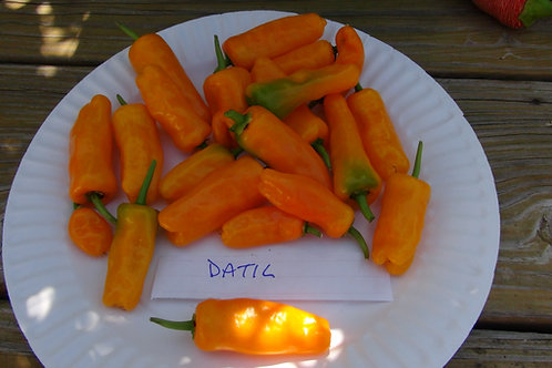 Here is the Datil Pepper, Capsicum chinense, Scoville units: 150,000+ SHU. Itoriginated in Chile and is a Blazing hot peppe