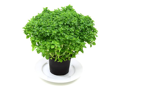 Here is the Spicy Globe Basil, Ocimum basilicum. This variety of basil grows in the form of a tidy, compact bush, more suitab