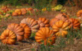 Here is the Musquee de Provence Pumpkin,Cucurbita moschata.It is also known as theFairytale pumpkin.This French heirloom is deeply ribbed with an orange umber colored skin and bright orange color inside and are a flattened type pumpkin. This pumpkin dates back to 1899 and is a highly sought after variety in France. They can get to 18 inches wide and weigh as much as 50 Lbs!Vines can get to 20 feet long and are good producers. Musquee de Provence Pumpkins aregenerally more tolerant of hot weather and do well in mid summer. They do havegood flavor and can be served raw asthin wedges or be made into a soup. They are easy to grow and fun to look at. Open pollinated 110 days.