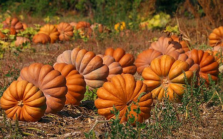Here is the Musquee de Provence Pumpkin, Cucurbita moschata. It is also known as the Fairytale pumpkin. This French heirloom is deeply ribbed with an orange umber colored skin and bright orange color inside and are a flattened type pumpkin. This pumpkin dates back to 1899 and is a highly sought after variety in France. They can get to 18 inches wide and weigh as much as 50 Lbs! Vines can get to 20 feet long and are good producers. Musquee de Provence Pumpkins are generally more tolerant of hot weather and do well in mid summer. They do have good flavor and can be served raw as thin wedges or be made into a soup. They are easy to grow and fun to look at. Open pollinated 110 days.