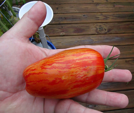 Here is the Speckled Roman Tomato, Solanum lycopersicum, Created by John Swenson, This tomato is a sight to see. Its a cross between a Antique Roman and Banana Legs. It is an elongated plum tomato with stripes that run down the fruit with deep orange streaks with a tail at the bottom. Plants are very productive with fruits getting to as long as 5 inches long! With it's rich flavor and rare beauty, makes this a new winner. Indeterminate regular-leafed plants, Open pollinated 70 days from transplant.
