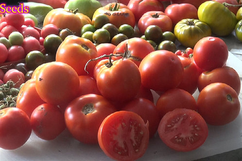 Here is the Beefsteak Tomato, Solanum lycopersicum. This particular type of beefsteak tomato is a rather small variety. In fa