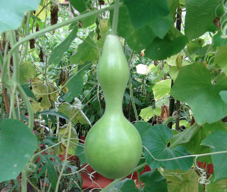 Here is the Birdhouse Gourd, Lagenaria siceraria. It is named so because it can be hollowed out an made into a bird house. There are many different types and shapes of this gourd. This listing is for the the one you see in the images. The fruits typically are green an dry brown! The fruits can rage from 6 inches to 24 inches in size. Vines get to around 12 feet long and need to climb something. They really do make a great birdhouse and can last quite a number of years before they start breaking apart. These are fun to grow for all ages even if your not a gardener! Open pollinated 90 to 120 days.