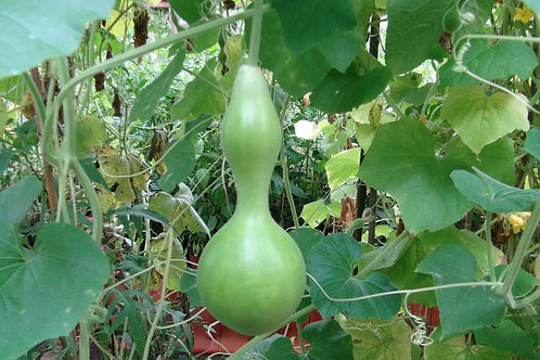Here is the Birdhouse Gourd, Lagenaria siceraria. It is named so because it can be hollowed out an made into a bird house. Th