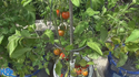 Here is the Glacier tomato, Solanum lycopersicum, It is a Semi-determinate variety that prefers cool weather in early spring or in fall. This tomato variety is a potato leaf type and produces 1 1/2 - 2 inch tomatoes. This is considered a extra-early variety so it's Best to start this one early! We found mid season pruning will often give a second or third crop.Open pollinated. Semi-determinate. 50-70 days.