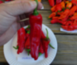Here is the Friariello Pepper also know as theFriariello di Nocera pepper or Peperone Friariello, Capsicum annuum, Scoville units: 5,000 ~ 20,000 SHU. This classic Italian frying pepper originates from Naples Italy mostly in the southern Italian region of Campania. This is the true version which is tri-lobed and not the shorter, pointier Friariello di Napoli. This rare variety is very popular in Europe. The slender fruits grow up to 5 incheslong and and go from deep green to red. They have a strong and tasty, sweet flavor. Usually used green, but when ripened to red they can be used for frying or pickling. Plants get to 3 feet tall and are good producers Open pollinated, 65 to 70 days.