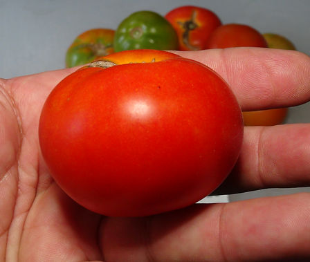 Here is the Potager de Viljoule Tomato, PI 123437, Solanum lycopersicum. This tomato originates from the country of Morocco and donated to the USDA in 1937. The fruits are a campari type with a orange skin and orange flesh inside that gets to about 2.5 inches round and weighting around 3 oz. The thing about this variety is the fruits are campari sized with slight fluting! Plants can get to 5 feet tall in really good soil but plants tend to get to 3.5 feet tall. Great for salads, eating fresh and for tomato sauce! Open pollinated indeterminate regular leaf mid season 60-70 days.