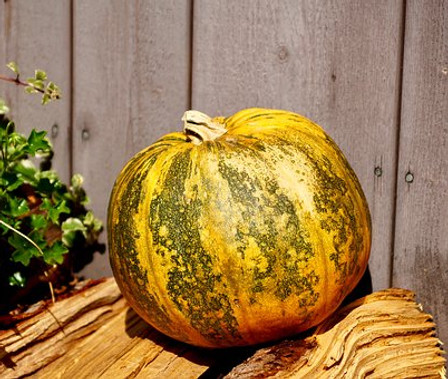 Here is the Kakai Hulless Pumpkin, Cucurbita pepo var. styriaca. This variety originates from the Styrian region of Austria. They are also known as Naked-seeded pumpkins due to the fact they have no hull! They get to around 15 inches round and weigh as much as 18 Lbs. They also have a yellow skin mottled with a dark green type stripping with a yellow flesh inside. The plants or vines are considered a bush type and don't get to much bigger then 4 feet long and produce about 3 to 5 pumpkins per plant. We found the seeds really god either raw or roasted and can be added to a salad. The seed are mostly use to make green pumpkin seed oil. Open pollinated 90 to 100 days.