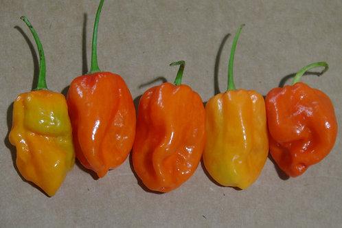 Here is the Komodo Dragon Pepper, Capsicum chinense, Scoville units: 1.4 Million SHU. The Komodo Dragon Pepper originates fro