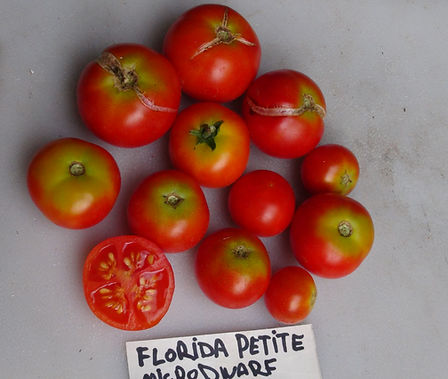 "Here is the Florida Petite Tomato, Solanum lycopersicum. This tomato originates from Florida USA and was created by the University of Florida in early 1980. This micro dwarf tomato is known for being grown in 4 inch pots and making fruits! We find this to be true but it will do better in a larger pot for obvious reasons. They tend to get to 6 inches tall but may get a little bigger in the right conditions. the tomatoes varies in size ranging from 3/4 to 1.5 inches round or slightly flattened and are orange in color. This variety is classified as a ""determinate"" type but we found that with regular pruning and good maintenance, the plants can live for years in small pots! The fruits are very tasty and sweet! Open pollinated, determinate 40 to forever days."