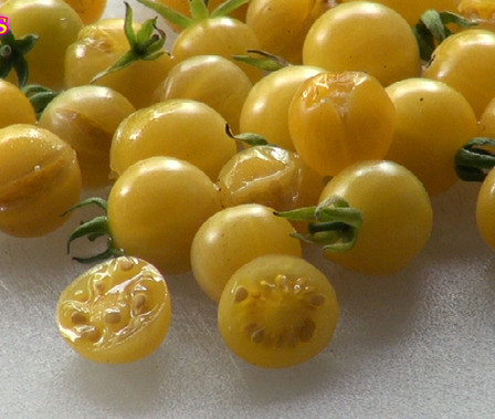 Here is the Yellow Pimp Tomato, Solanum pimpinellifolium. We received the seeds to this tomato from a seed trade from someone in the northern pan handle of Florida. This tiny yellow Currant Tomato is a Small yellow colored tomato that is a close relative to the common tomato, with an excellent sweet flavor. This variety bears heavily, often producing several hundred fruits off a single plant. Plants can grow to 10-20′. fruits can be used to make sauce or eaten fresh. They appear to be a yellow version of the everglades tomato being slightly translucent. Indeterminate Open pollinated. 60-65 days.