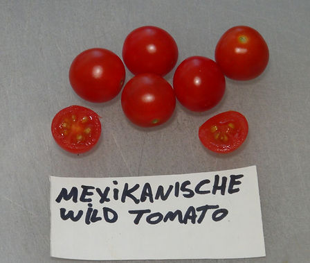 Here is the Mexikanische Wild Tomato, Solanum lycopersicum. This Tomato originates from Mexico and tolerates heat very well. Not much is known about it but plants can grow to 6 feet tall and produce small cherry tomatoes, NOT currant tomatoes. Fruits get to around .5 inches round and are very sweet! Great choice for hotter climates. Open pollinated. mid season regular leaf Indeterminate. 50-75 days.