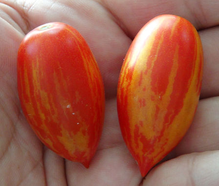 Here is the Matt's Hornet Tomato, Solanum lycopersicum. This tomato originates from the USA and was created by Tom Wagner. It is a cross between the Matt's Wild Cherry and Casady's Folly tomatoes. The fruits are a stripped bullet type with a orange skin and orange flesh inside that gets to about 2 inches long and weighting around 1 oz. The thing about this variety is the fruits are bullet shaped with stripping! Plants can get to 4 feet tall in really good soil but plants tend to get to 3 feet tall. Great for salads, eating fresh and for tomato sauce! Open pollinated indeterminate regular leaf mid season 65-75 days.