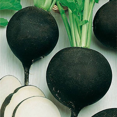 Here is the Round Black Spanish Radish,Raphanus sativus. It is also known as the Noir Gros Rond d'Hiver. This radish dates back to the 1500's in Europe and grown in the U.S. since the 1800s.It is a Winter Radish that gets to around 4 to 5 inches round or globe shaped and is a HOT radish type. It has a black skin with a bright white flesh inside with a crisp crunchy spicy flavor. The tops of these radishes can grow very tall, about 20 inches tall in fact! We prefer to cook this type of radish rather then eating raw. Radishes can be useful as companion plants for many other crops, probably because their pungent odor deters such insect pests as aphids. This is a great starter vegetable for new gardeners. Open pollinated, 35 to 50 days.