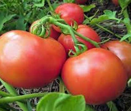 Here is the Yana Tomato, Solanum lycopersicum. This heirloom tomato originates from Ukrainian. It is a 3 to 3.5 oz medium red round tomato. Plants are a bush or compact type and can get to 2 feet tall in really good soil but plants tend to get to 20 inches across. They have a sweet smooth classic tomato flavor with fruits getting to 2 inches round. They also make a great shipping tomato and go great in salads an sauce! Open pollinated, determinate, regular leaf, early to mid season, red, slicer, 91 to 110+ days. LOT# 0 TAG# 00
