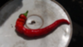 Here is the Jimmy Nardello's Pepper, Capsicum annuum, Scoville units: 000 SHU. It is also known as theSweet Italian Frying Pepper and was Given to SSE by Jimmy Nardello whose mother brought the seeds to the U.S. when she immigrated with her husband Guiseppe from the Basilicata region of Italy in 1887. One of the very best for frying, delicious roasted apple flavor. Productive plants are loaded with glossy red 10 inchlong peppers. Plants get to around 3 feet tall and very productive in full sun light. It is a very popular here at HRSeeds. Open pollinated 80 to 90 days from transplant.