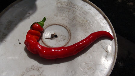 Here is the Jimmy Nardello's Pepper, Capsicum annuum, Scoville units: 000 SHU. It is also known as the Sweet Italian Frying Pepper and was Given to SSE by Jimmy Nardello whose mother brought the seeds to the U.S. when she immigrated with her husband Guiseppe from the Basilicata region of Italy in 1887. One of the very best for frying, delicious roasted apple flavor. Productive plants are loaded with glossy red 10 inch long peppers. Plants get to around 3 feet tall and very productive in full sun light. It is a very popular here at HRSeeds. Open pollinated 80 to 90 days from transplant.