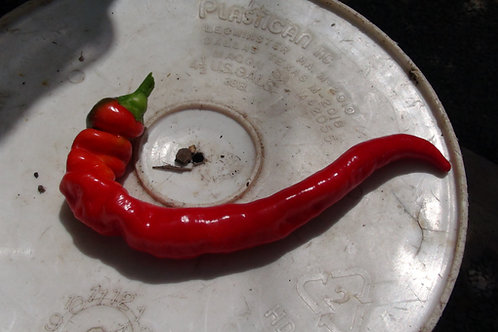 Here is the Jimmy Nardello's Pepper, Capsicum annuum, Scoville units: 000 SHU. It is also known as theSweet Italian Frying P