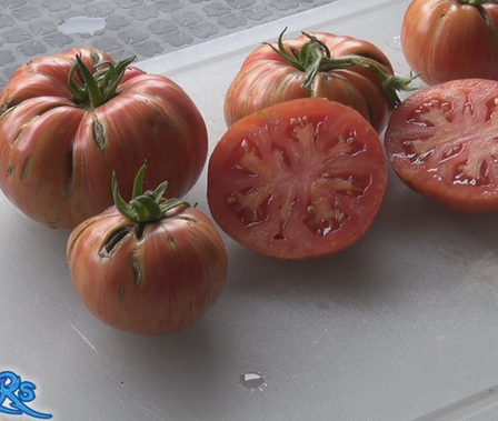 The Chocolate stripes tomato, Solanum lycopersicum, Is an indeterminate, regular-leaf tomato. It is one of the nicest striped tomatoes ever! It will produce pastel orange stripes over pink. Makes good sized tomatoes. Each bract can hold as many as 4 tomatoes! very good producer. Watch the video and see how i rate this tomato. Open pollinated. Indeterminate. 60-75 days.
