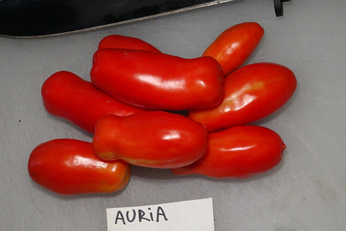 Here is the Auria Dwarf Tomato , Solanum lycopersicum. This variety of tomato originates from Ukraine and only gets to around