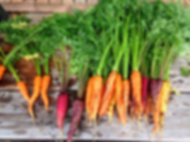 This mixed pack of carrot seeds are from seeds we did not have time to package an separate. We then put them all together in one container an offer them as mixed lots. This pack contains seeds from red, yellow orange, purple an even black carrots! Some of the varieties are:Akaroa Long Red carrot, Altrincham carrot, Autumn King carrot, Barwon carrot, Baby Bell carrot, Bolero carrot, Doucer carrot, Flakee carrot, French Round carrot, Imperator carrot, Juwarot carrot, Karotan carrot, King Chantenay carrot, Magno carrot, Nelson carrot, Oxheart carrot, Royal Star carrot and many more! We cannot guaranty you will receive a perfect mix of verities but should get a mix however! Open pollinated 60-70 days.