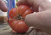 Here is the Mortgage Lifter Tomato, Solanum lycopersicum. This large tomato heirloom variety was developed by Willam Estler of Barboursville, West Virginia, in 1922 and wasdeveloped for the nursery plant market.It got it's name during the Great Depression to help small plant nurseries and farmers to recover fromdebt. It will produce large beefsteak tomatoes up to 2-1/2 lbs with amild sweet flavor. They will Turn to a nice pink color with some yellowing in the shoulders as they mature on the vine. Easy to grow and disease resistant. Open pollinated Indeterminate 70 days.