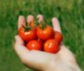 Here is the Husky Cherry Red tomato, Solanum lycopersicum, This is considered a dwarf variety. Big yields of very rich and flavorful, one inch cherry tomatoes borne in large clusters all season long. What makes this variety so special is the plant grows only 36 to 50 inches tall, giving the gardener more fruit in less space. These actully make a pretty good tomato sauce! Dwarf indeterminate, Open pollinated, 65 days This ones a winner!