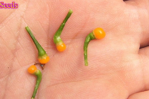 Here is the dwarf version of the Aji Charapita Pepper, capsicum chinense, Scoville units: 20,000+ SHU.These seeds were sent