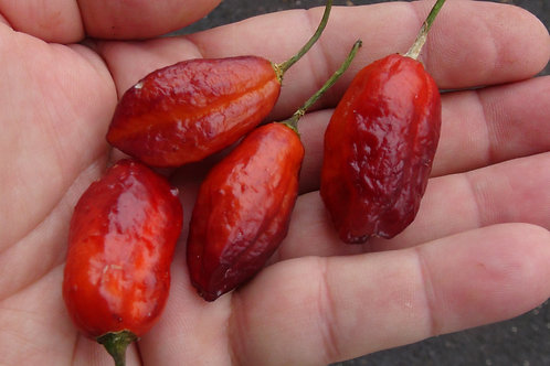 Here is the TS X Morango Pepper, Capsicum chinense, Scoville units: 90,000 shu. This pepper is a cross between the Trinidad S