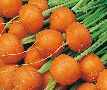 Here is the Parisienne Carrot,Daucus carota subsp. sativus.This is a round carrot and is sometimes called globe carrots. These miniature carrots are a French heirloom yielding blocky orange roots that grow from 1 to 2 inches round. These carrots grow well in heavy soil and very tight together. We find them great to add to soups and stews whole. Open pollinated 50 to 60 days.