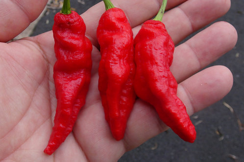 Here is the Purple Ghost Pepper, Capsicum chinense, Scoville Units: 1,000,000+ SHU. This is the true variation of the purple