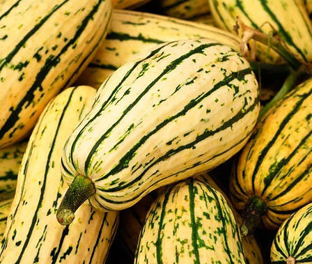 Here is the Delicata Squash, Cucurbita pepo. It is also known as the peanut squash or Bohemian squash. It was Introduced in 1891 is a cream colored winter squash with green stripes. Delicata squash are easily grown, Start the seeds after all danger of frost is past. They get to about 3 inches in diameter and 6 inches long. They also have a great smooth flavor and best picked young. Plants can reach 2-3 feet long and produce 6 to 8 fruits per plant. We like to add this to soups but really good roasted! Open pollinated, 70 days.