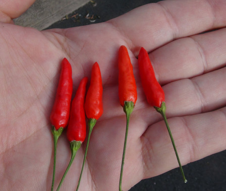 Here is the Malagueta Pepper, PI 497984, Capsicum frutescens, Scoville 60,000 to 100,000 SHU. This pepper originates from the Caribbean and goes back in written history to 1492 when Christopher Columbus first landed there, then later introduced to Portugal and to Brazil. Sometimes referred to as piripiri pepper, they are a very heavy producer and make great house plants producing fruits throughout the winter months! Pods are about 2 inches long and are up right on the plants and have a fantastic taste! Plants get to about 3 feet tall and spread out. Great for drying or pickling fresh! Open pollinated 80 days.
