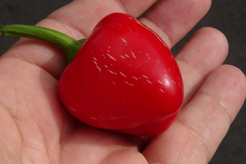 Here is the Bell of Göllü pepper, Capsicum annuum, Scoville units: 1000+ SHU. It is a unique, rare andold fashion pepper fro
