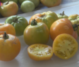 Here is the Old German Tomato, PI 647528, Solanum lycopersicum. This tomato dating back to the 1860's was cultivated by the Shenandoah Valley, Mennonite community in the state of Virginia. They were commercially available around 1985 thru SSE. These tomatoes can get to 2 Lbs easily but range quite a bit in size! These bi-colored tomatoes are great for making sauce and ideal for slicing. Highly productive and produced fruit all the way up to the season! Open pollinated. Indeterminate. 65 days.